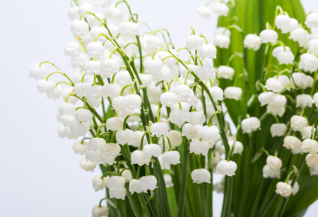 majalis: Lily of the Valley (Convallaria Majalis) isolated on white
