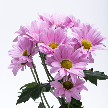 dalia: Close up of the pink chrysanthemum flowers