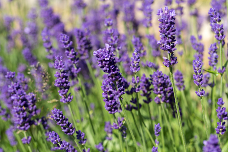 the loire: Gardens with the Flourishing lavender