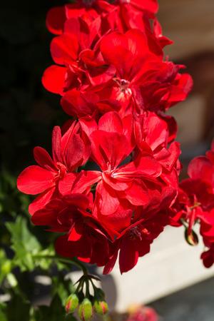 cranesbill: Red pelargonium (geranium) flower, blooming in a garden