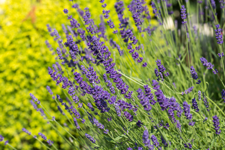 flourishing: Garden with the flourishing lavender