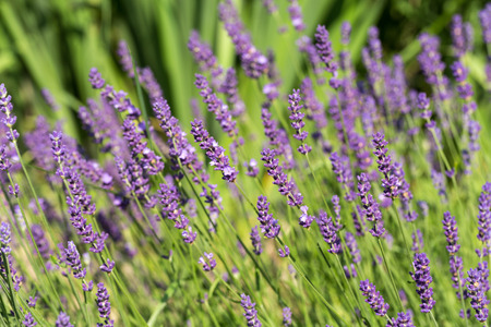 lavande: Garden with the flourishing lavender