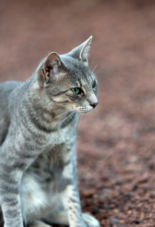 grey eyed: A Beautiful  grey cat outside in the garden Stock Photo