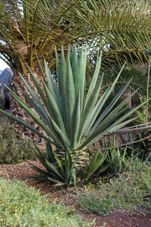distill: Agave tequilana plant to distill mexican tequila liquor