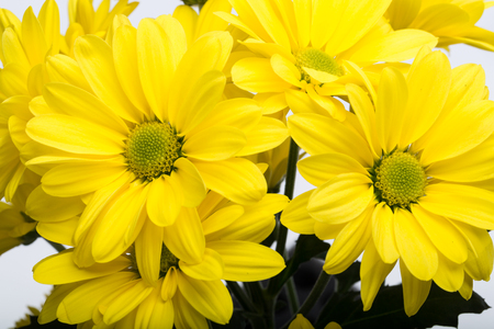 georgina: Close up of the yellow chrysanthemum flowers