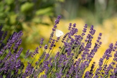 flourishing: Garden with the flourishing Lavender and Oregano