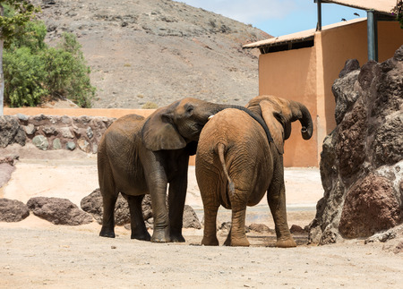 wrestle: Two African Elephant bulls play-fighting Stock Photo