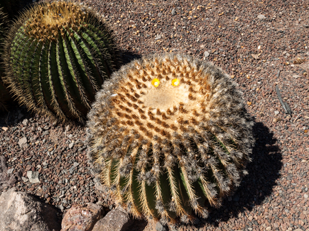 popularly: Echinocactus grusonii, popularly known as the golden barrel cactus, golden ball or, amusingly, mother-in-laws cushion,