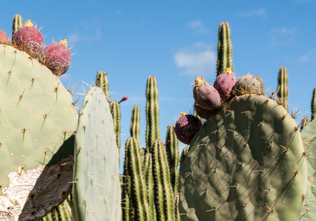 cactus species: Opuntia ficus-indica is a species of cactus that has long been a domesticated crop plant important in agricultural economies throughout arid and semiarid parts of the world.