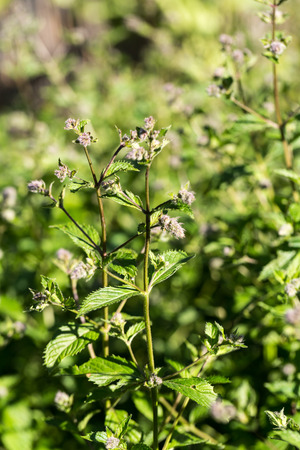 field mint: mint plant grown at vegetable garden Stock Photo