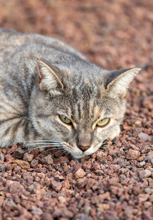 grey eyed: A Beautiful  domestic cat outside in the garden