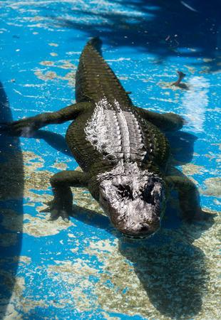 a dangerous big aligator in Oasis Park on Fuerteventura , Canary Islands