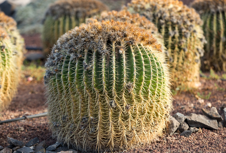 Echinocactus grusonii, popularly known as the golden barrel cactus, golden ball or, amusingly, mother-in-laws cushion,