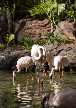 phoenicopterus: Nice pink big bird Greater Flamingo, Phoenicopterus ruber Stock Photo