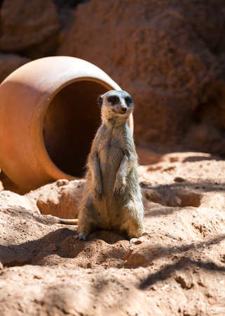 suricata: Meerkat stands guard (Suricata suricatta)  Stock Photo