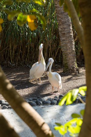 white washed: White Pelican (Pelecanus onocrotalus) also known as the Eastern White Pelican, Rosy Pelican or White Pelican is a bird in the pelican family
