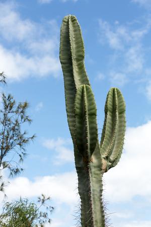 gran canaria: Pachycereus cactus on Fuerteventura, Canary Islands, Spain