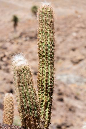 gran canaria: Beautiful Succulent Cactus Plants in Garden Stock Photo