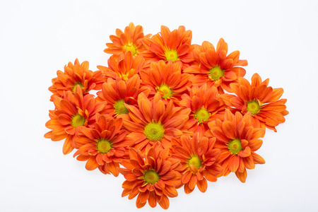 georgina: Close up of the orange chrysanthemum flowers