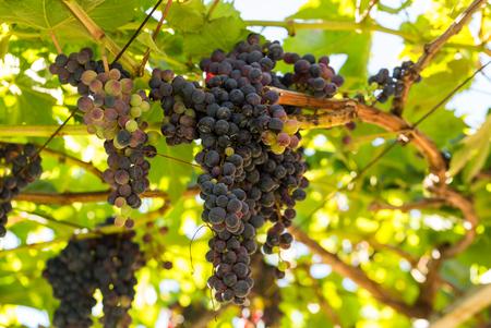 Bunches of Tinta Negra Mole grapes on pergola in Estreito  de Camara  de Lobos on Madeira. Portugal