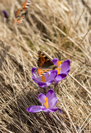 spinnaker: butterflies and crocuses on the meadow, first springtime flowers