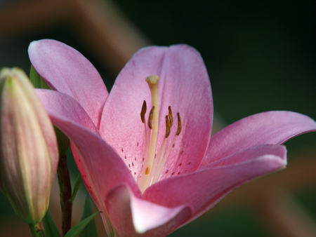 anthers: pink  lily flower in garden Stock Photo