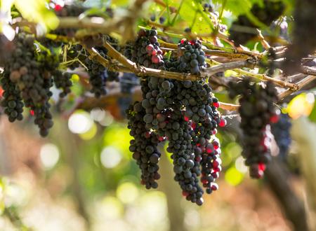 portugal agriculture: Bunches of Tinta Negra Mole grapes on pergola  in Estreito  de Camara  de Lobos on Madeira. Portugal