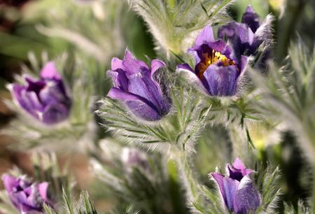 purple flower of the pasqueflower in the garden
