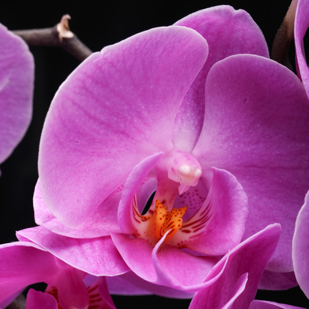 phalaenopsis: Pink orchid flower isolated on black background