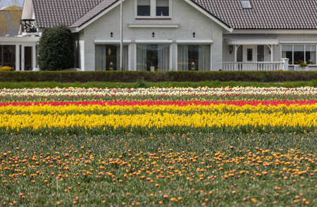 Tulip fields in the Bollenstreek, South Holland, Netherlands Stock Photo