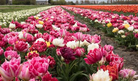 bulb fields: Tulip fields of the Bollenstreek, South Holland, Netherlands