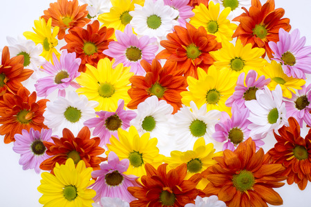 georgina: The background image of the colorful chrysanthemum flowers Stock Photo