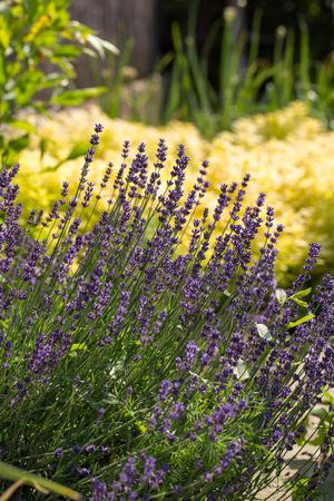 Garden with the flourishing Lavender and Oregano