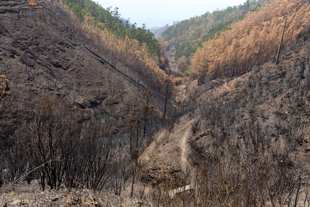 World heritage forests of Madeira terribly destroyed by fires in 2016. Some of trees have enormous will of life and survived this disaster. Stock Photo
