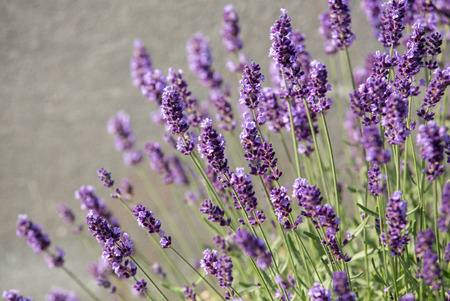 Garden with the flourishing lavender