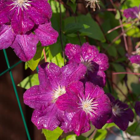 Beautiful purple flowers of clematis in garden Stock Photo