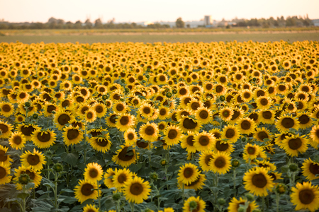 Sunflowers field near Arles  in Provence, France 版權商用圖片 - 83242199