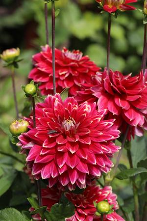 Head of  red dahlia flower in summer garden