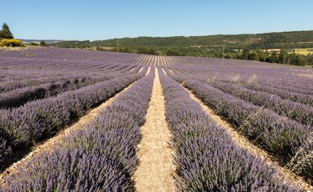 vaucluse: Lavender field in Provence, near Sault, France