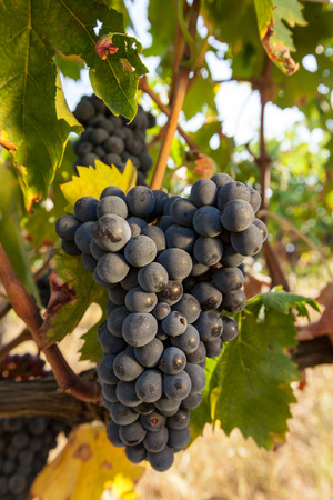 pienza: Bunches of ripe grapes before harvest. Stock Photo