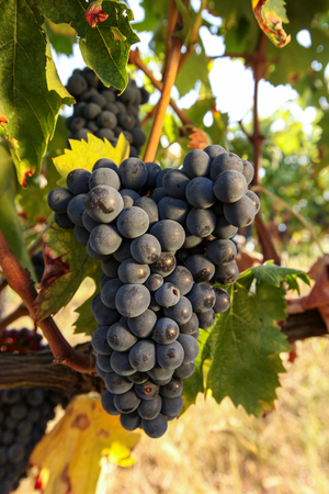 Bunches of ripe grapes before harvest. Zdjęcie Seryjne