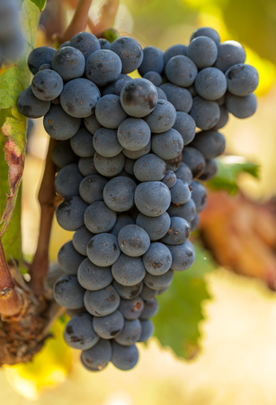 Ripe grapes in veneyard