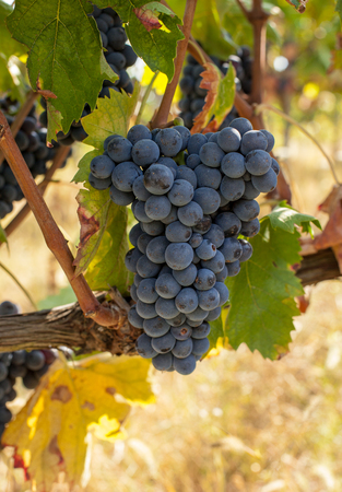 Bunches of ripe grapes before harvest. Stock Photo