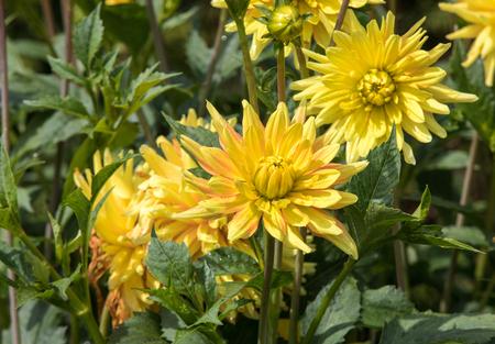 Head of  yellow dahlia flower in summer garden