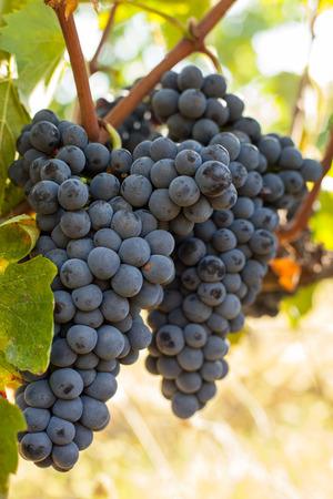 pienza: ripe red grape clusters on the vine Stock Photo