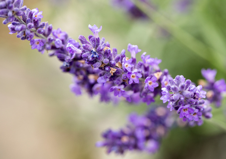 bee on flower: the flourishing lavender  in Provence, near Sault, France