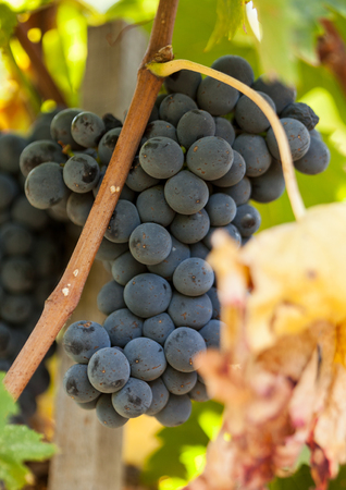 ripe red grape clusters on the vine Stock Photo