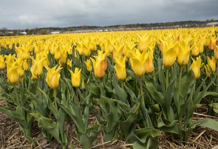bulb fields: Tulip fields in the Bollenstreek, South Holland, Netherlands Stock Photo