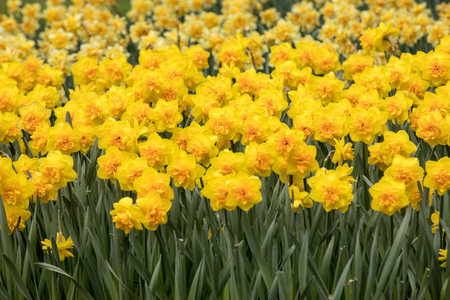 Spring blooming yellow daffodils or narcissuses in garden