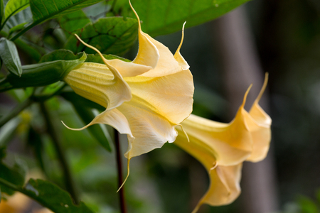 the flowers of the Angels Trumpet, Brugmansia aurea  Stock Photo